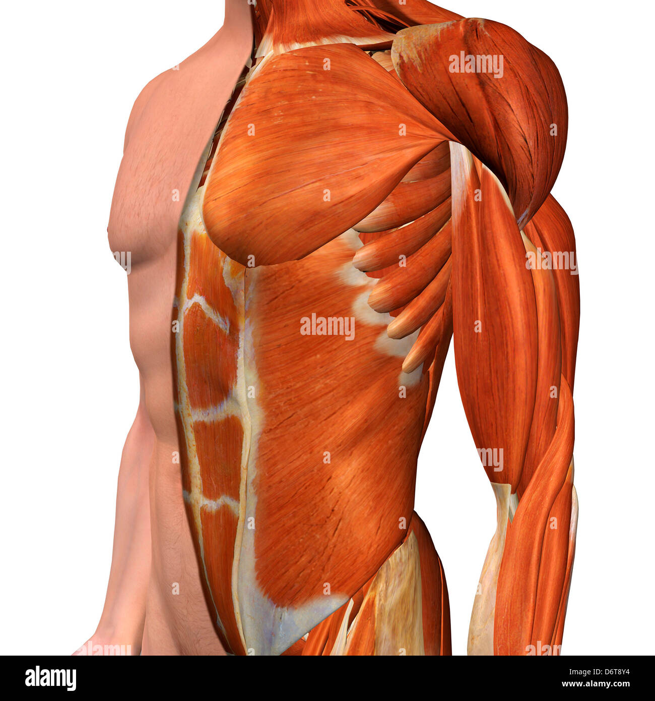 Cross-section anatomy of male chest, abdomen and groin muscles Stock ...
