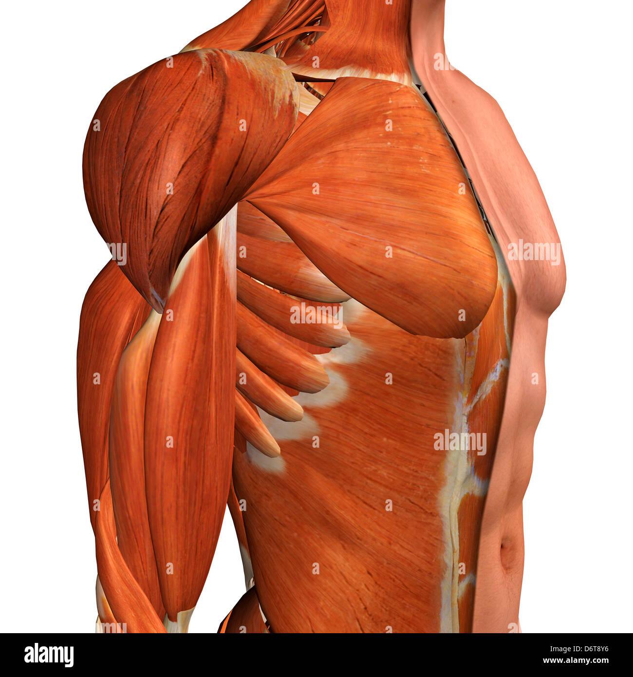 Cross Section Anatomy Of Male Chest Abdomen And Groin Muscles Stock