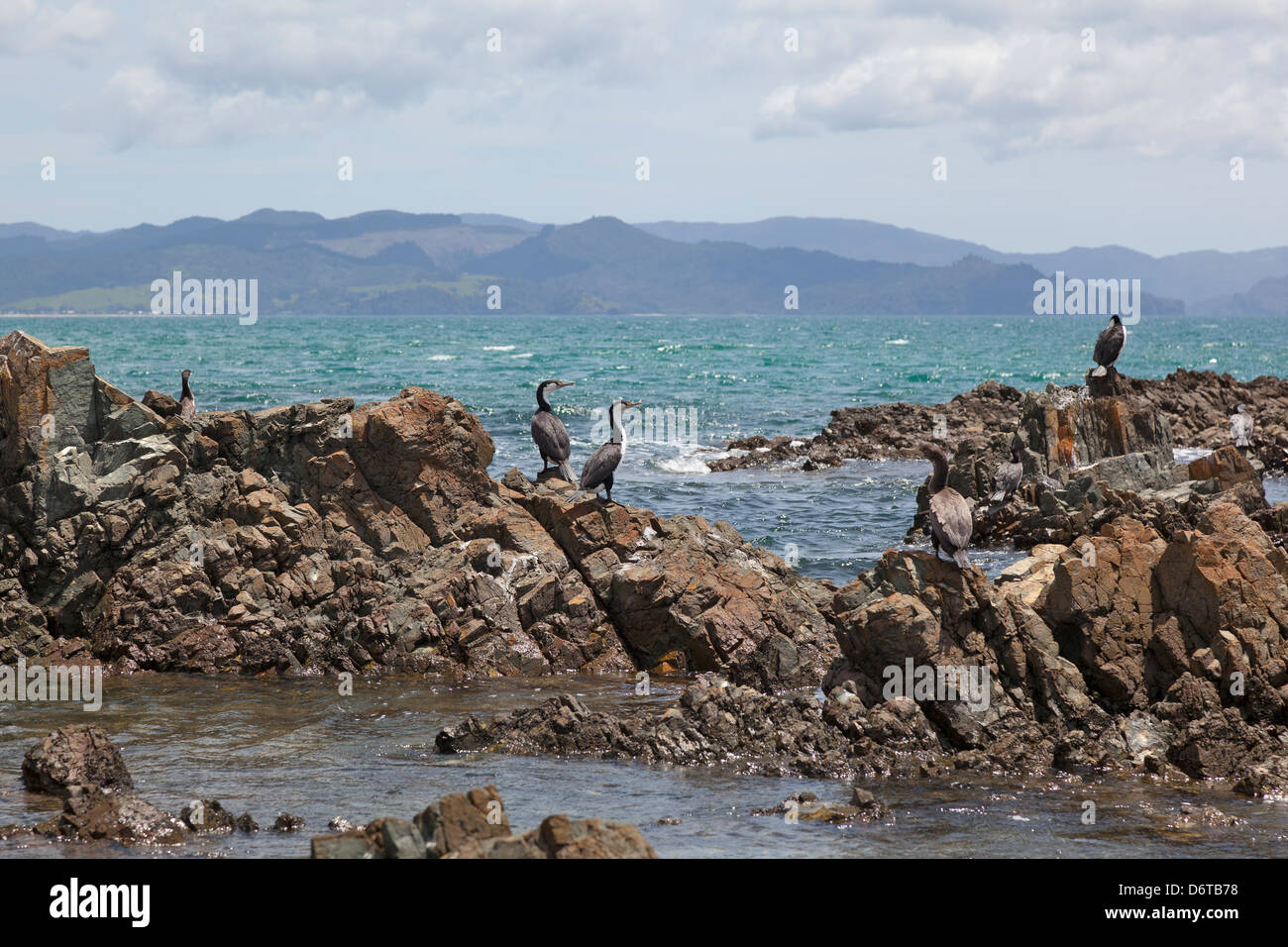 Cormorants at the rocks in Kuaotunu, Coromandel, New Zealand - Stock Image
