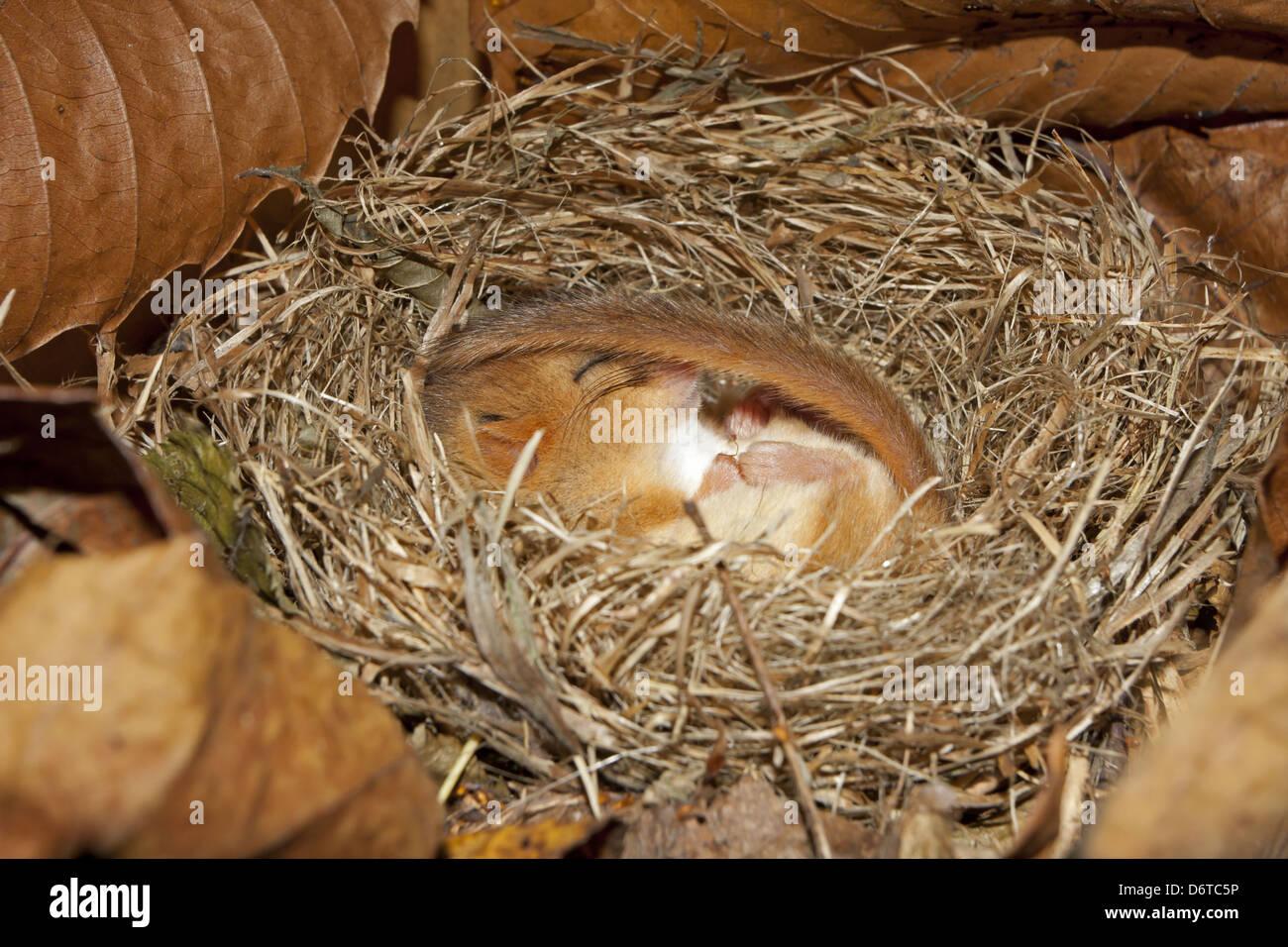 Hazel Dormouse (Muscardinus avellanarius) adult, hibernating in nest, Norfolk, England, January - Stock Image