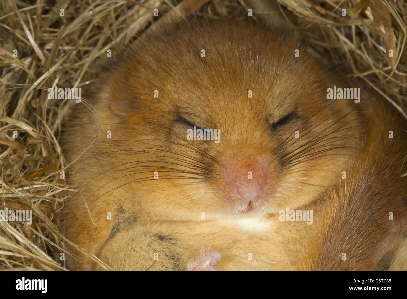 Hazel Dormouse (Muscardinus avellanarius) adult, close-up of head, hibernating in nest, Norfolk, England, January - Stock Image