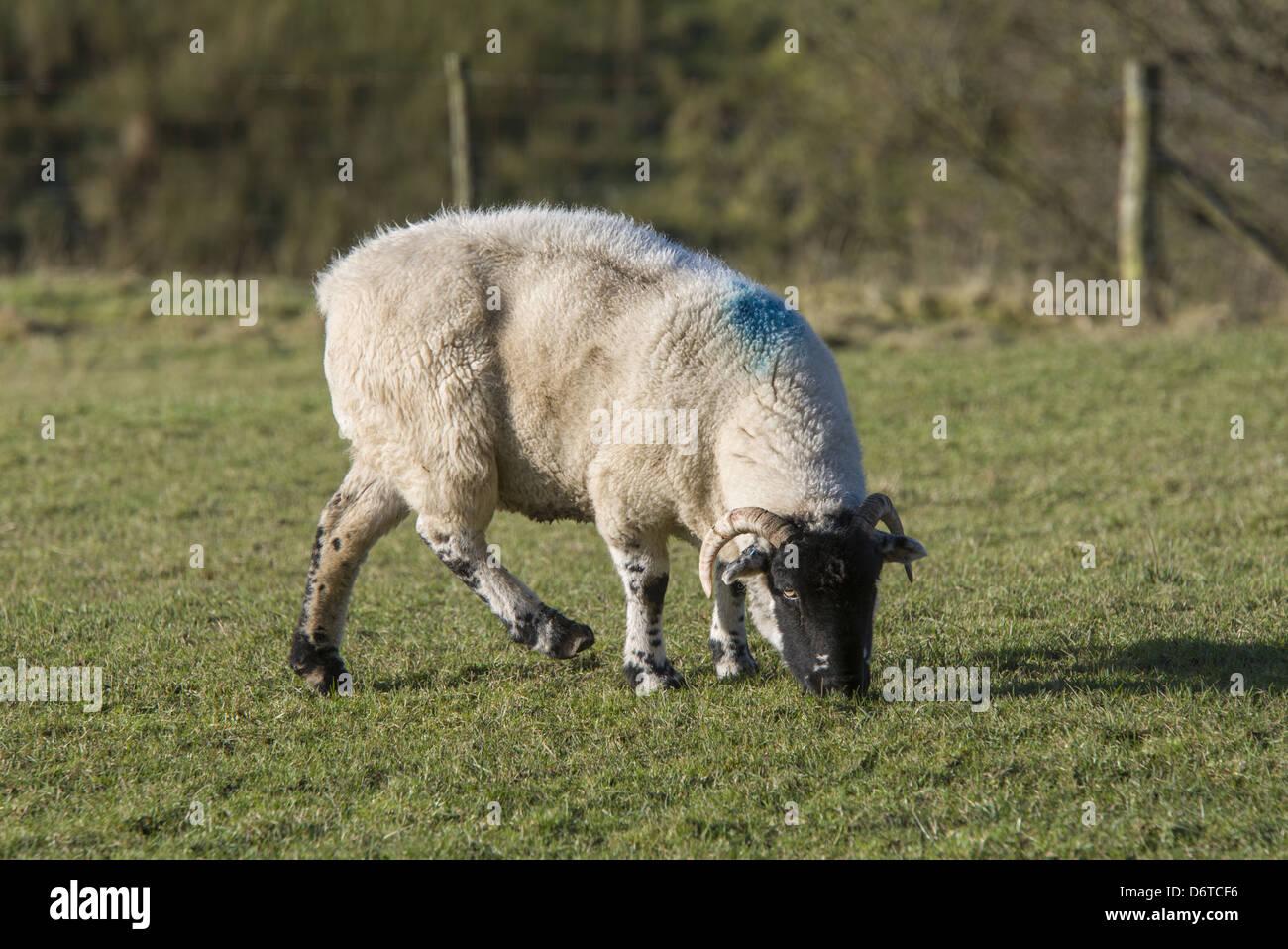 Domestic Sheep, Lonk ewe, lame, grazing in pasture, Lancashire, England, December - Stock Image
