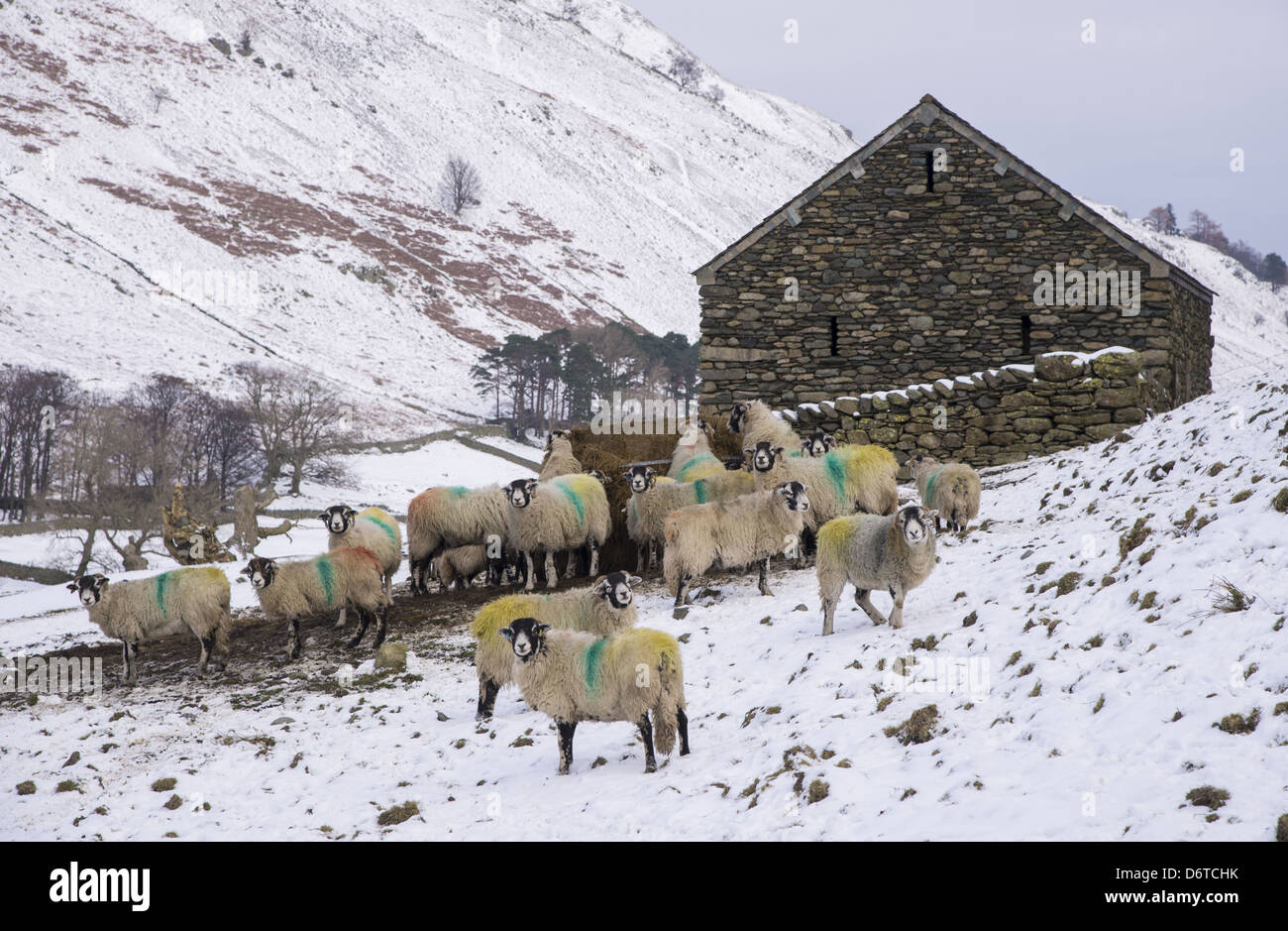 Domestic Sheep Swaledale Ewes Flock Feeding On Silage Beside Stone Barn In Snow Covered Upland Pasture Grisedale Lake District