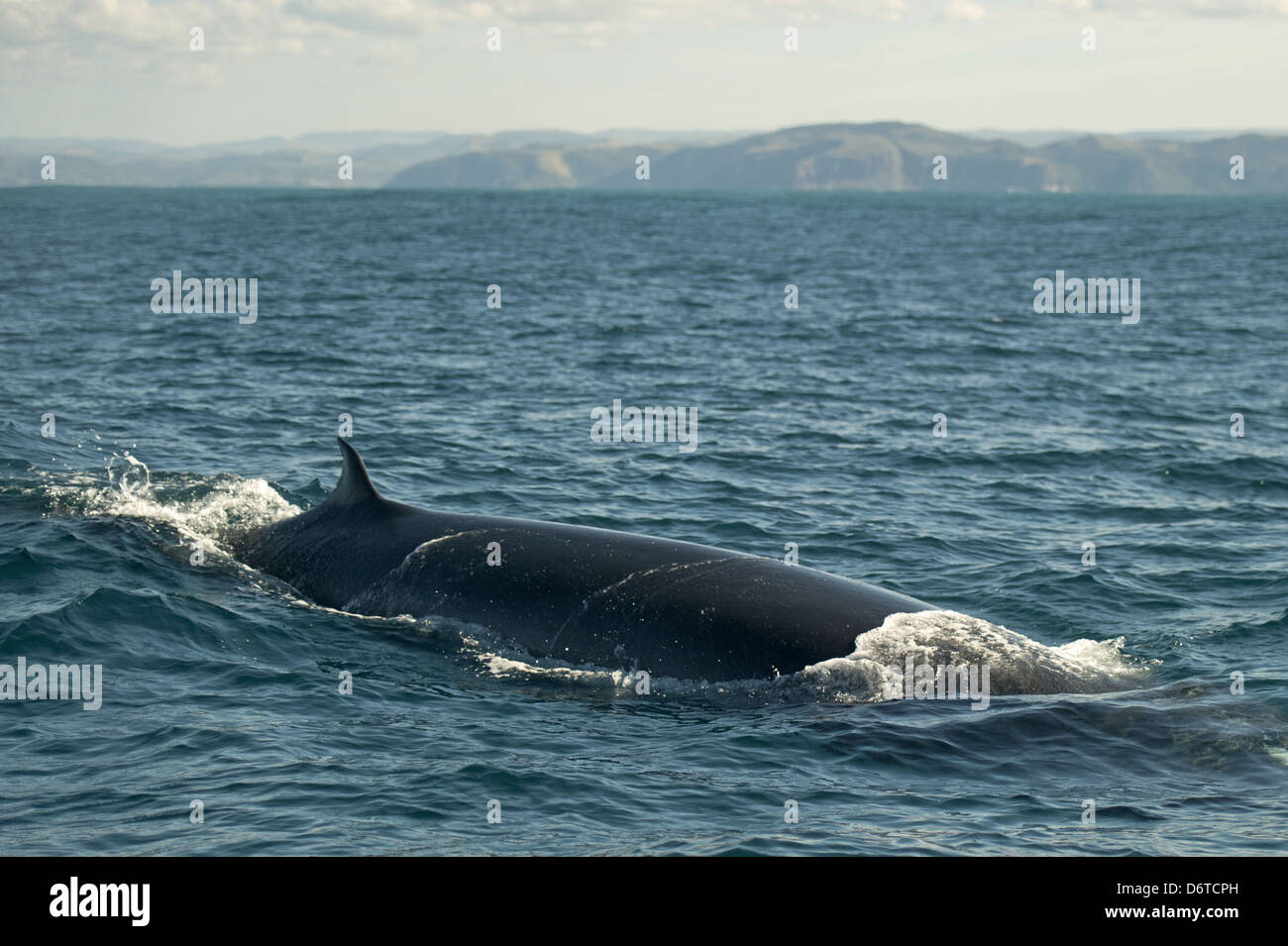 Bryde's Whale Balaenoptera edeni adult swimming sea surface offshore Port St. Johns Wild Coast Eastern Cape - Stock Image