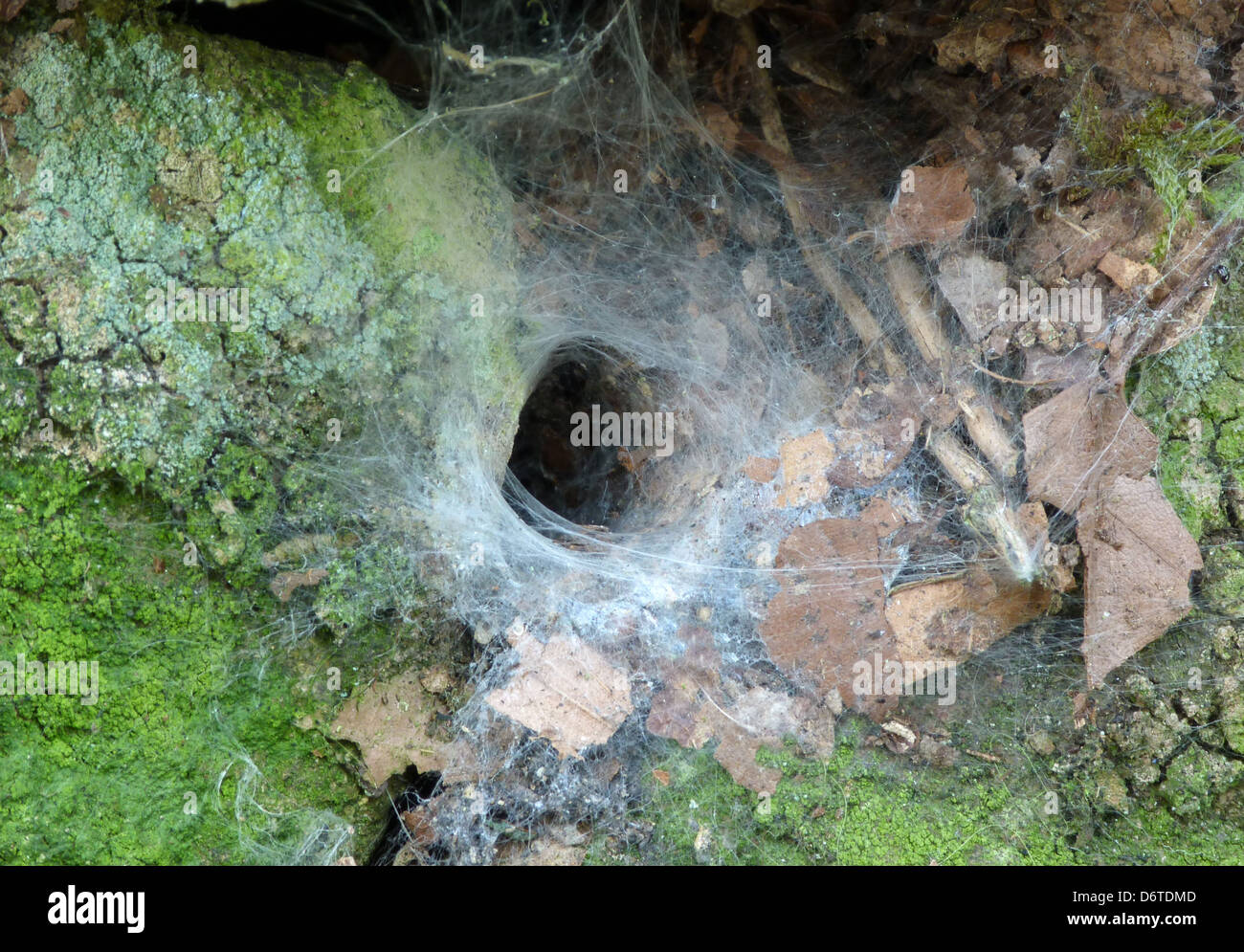 Garden Lace-webbed Spider (Amaurobius similis) entrance of web in stone wall, Leicestershire, England, August - Stock Image