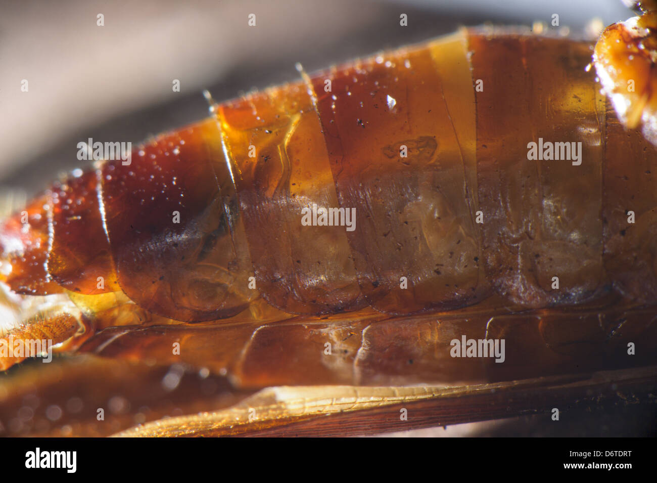 Emerald Cockroach Wasp Ampulex compressa larva inside body American Cockroach Periplaneta americana host South Asia - Stock Image