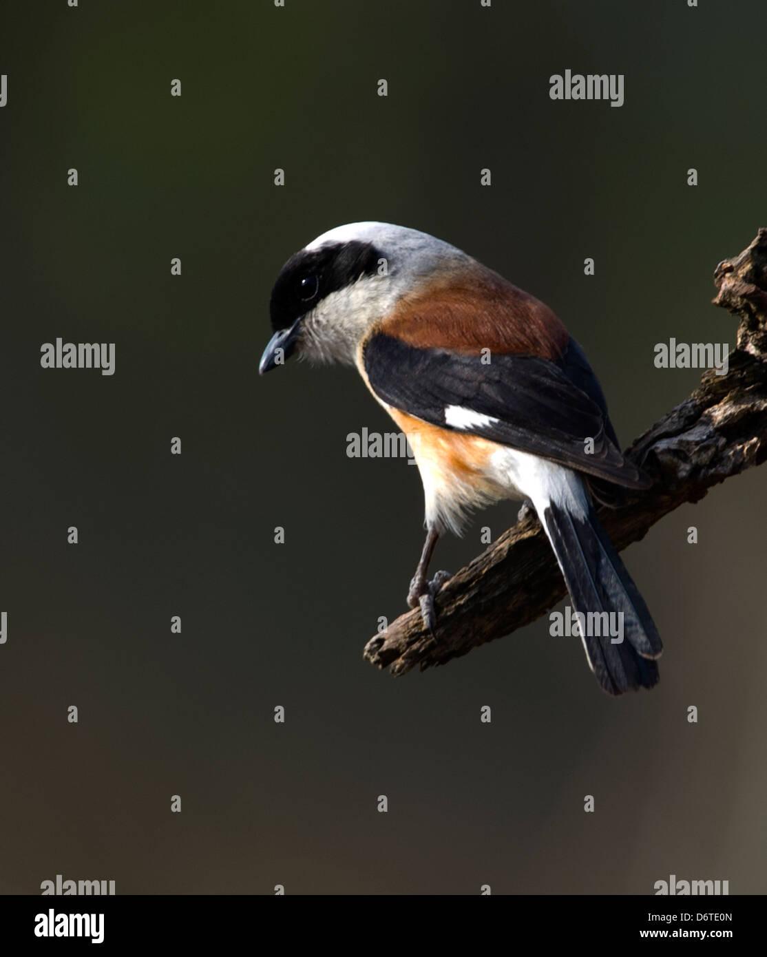 Bay-backed Shrike (Lanius vittatus) - Stock Image