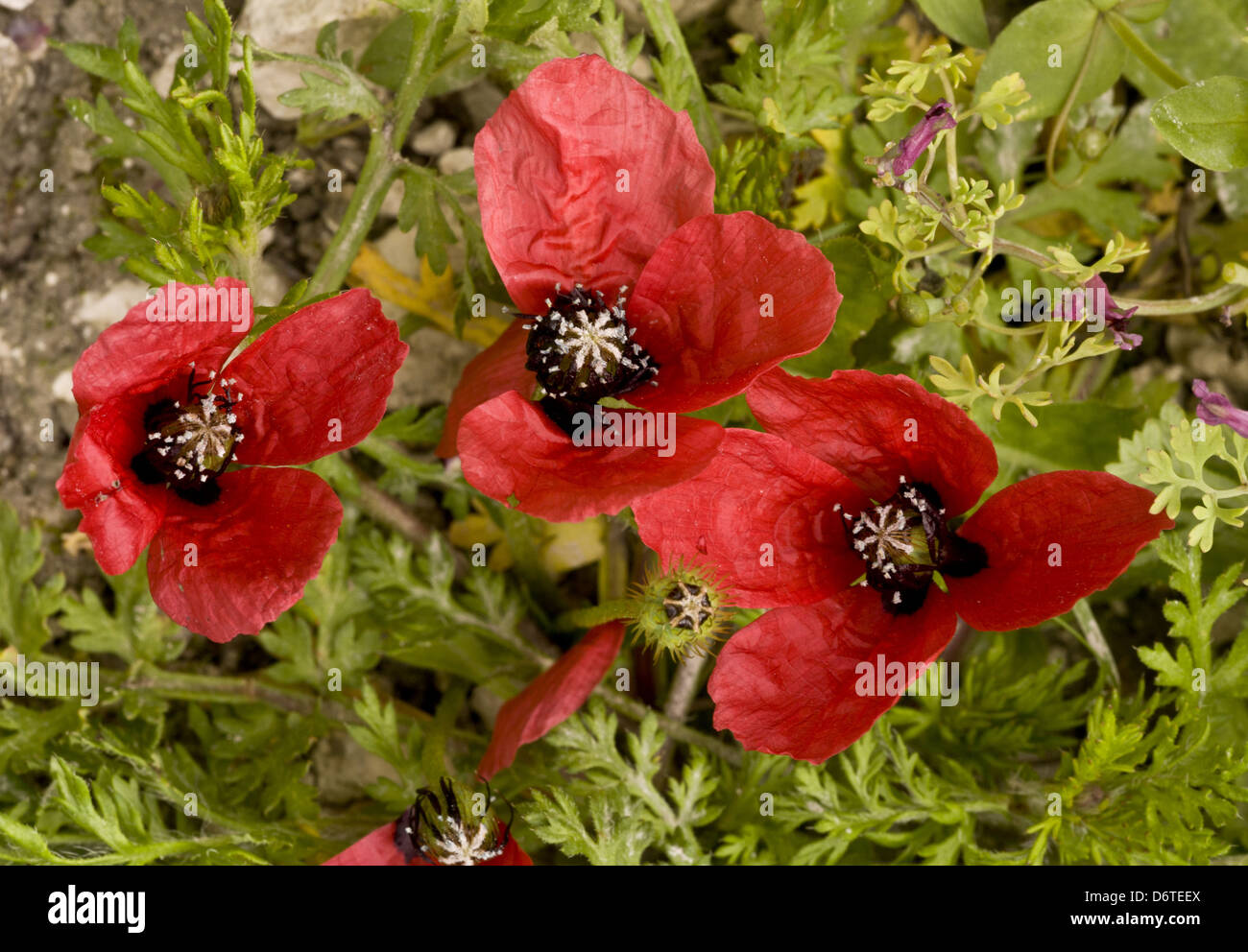 Rough Poppy (Papaver hybridum) in flower and fruit, growing on arable land, Ranscombe Farm Nature Reserve, Kent, Stock Photo