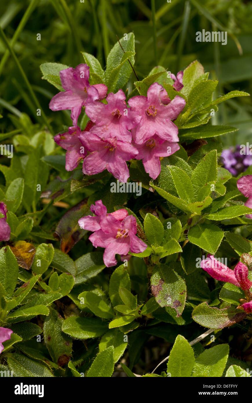 Hairy Alpenrose (Rhododendron hirsutum) flowering, growing on limestone, German Alps, Bavaria, Germany, July - Stock Image