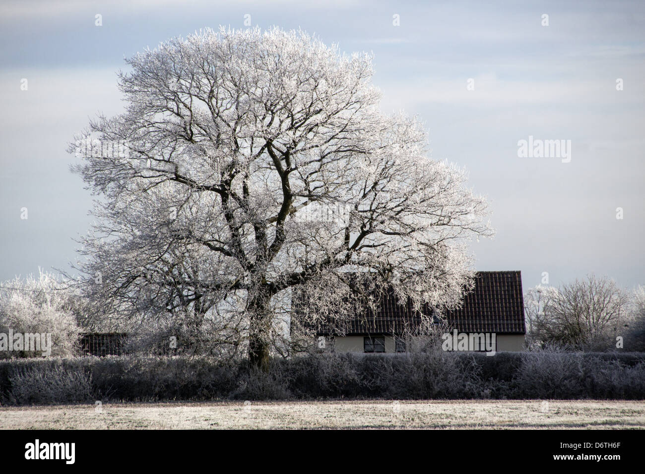English country cottage and Oak tree covered in hoar frost - Stock Image