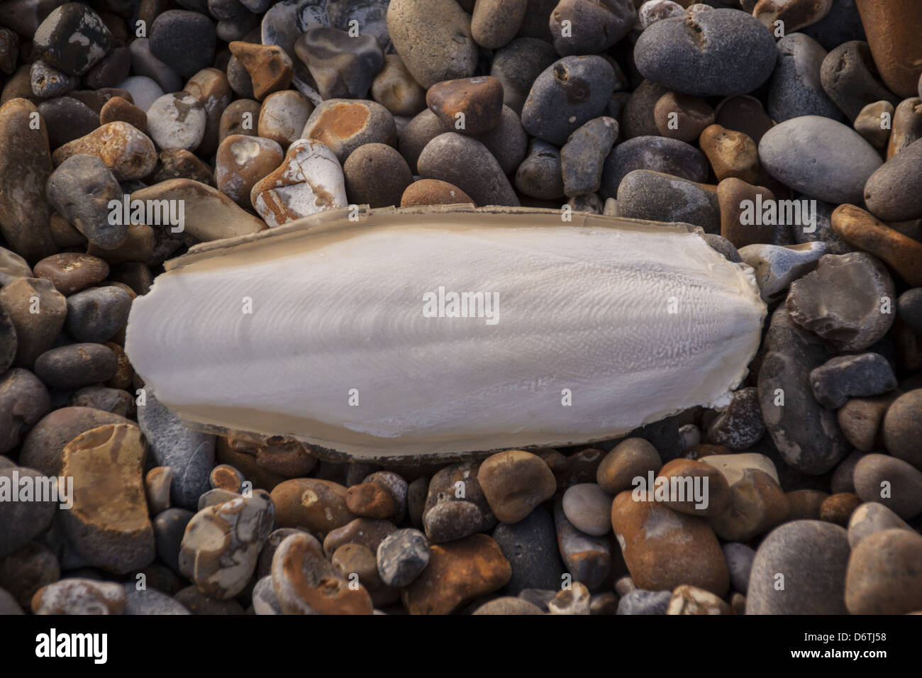 Common Cuttlefish (Sepia officinalis) cuttlebone, washed up on a pebble beach, Aldeburgh, Suffolk, England, March - Stock Image