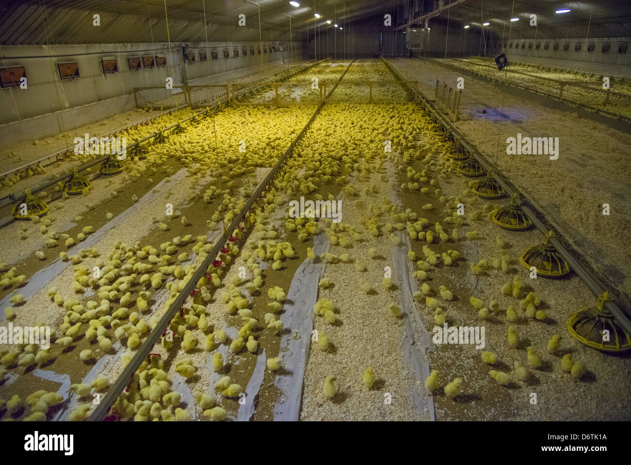 Chicken farming one-day old Ross 308 broiler chicks automatic drinkers feeders in poultry unit Lancashire England - Stock Image