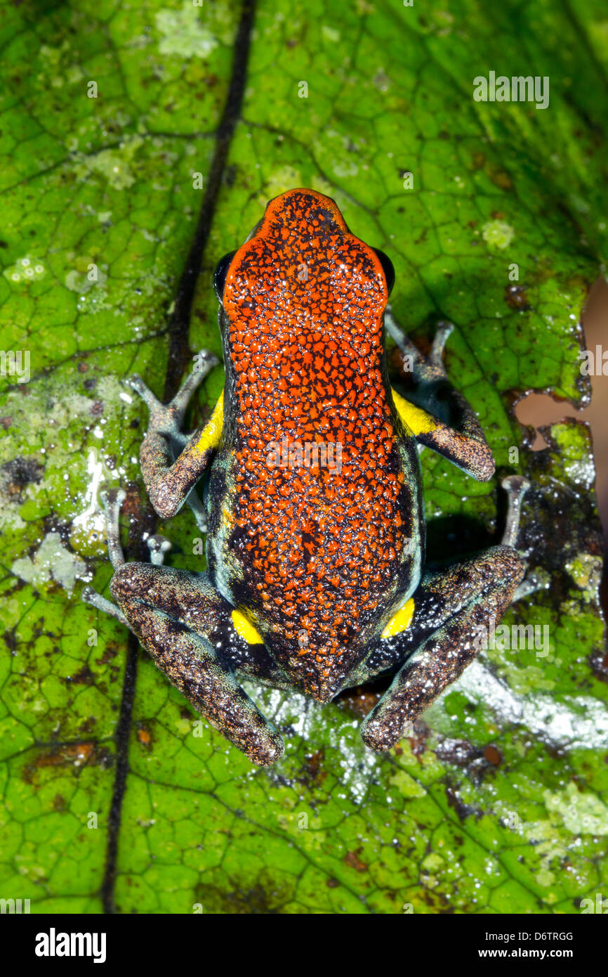Ecuadorian Poison Frog (Ameerega bilinguis) on a green leaf in the rainforest - Stock Image