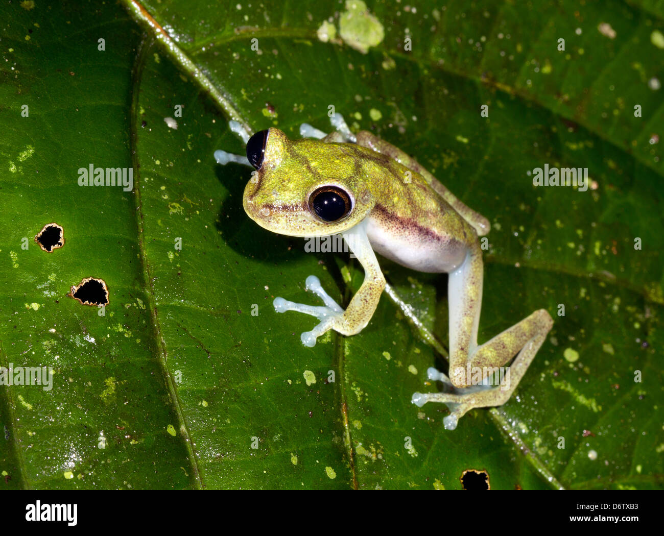 Nymph Treefrog (Hypsiboas nympha) on a leaf in the rainforest understory, Ecuador Stock Photo