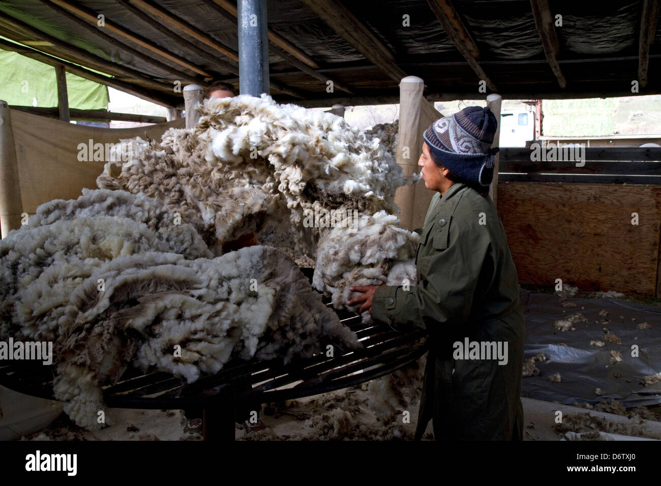 Shearing Sheep, Usa Stock Photos & Shearing Sheep, Usa Stock