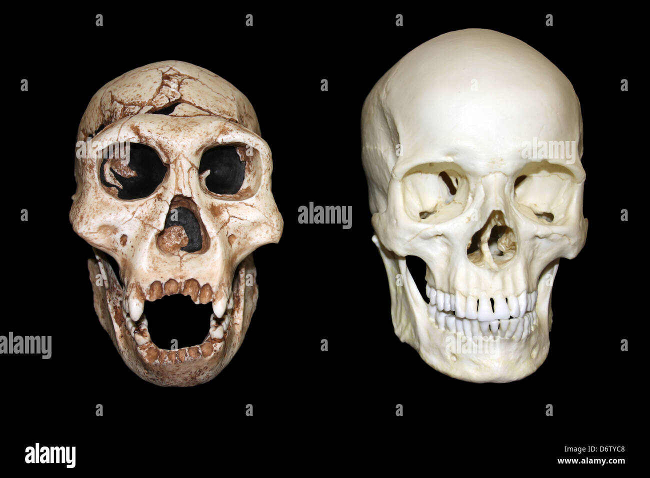 Dmanisi Homo erectus vs Homo sapiens Skull Stock Photo