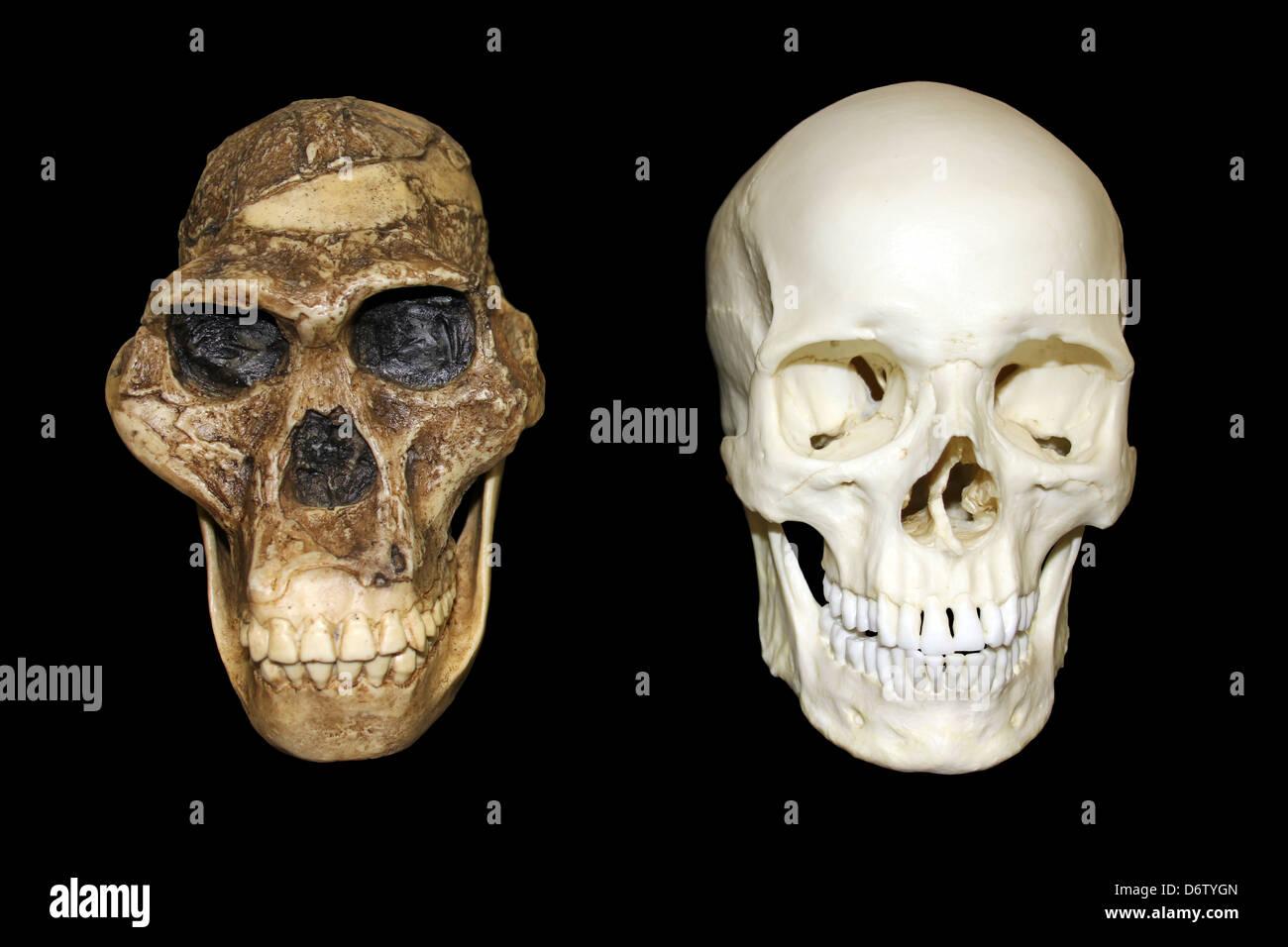 Australopithecus africanus Skull Sts 5 'Mrs. Ples' vs Homo sapiens Skull - Stock Image