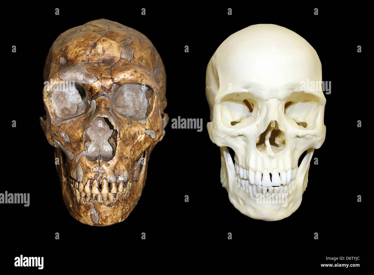 Homo neanderthalensis vs Homo sapiens Skull - Stock Image