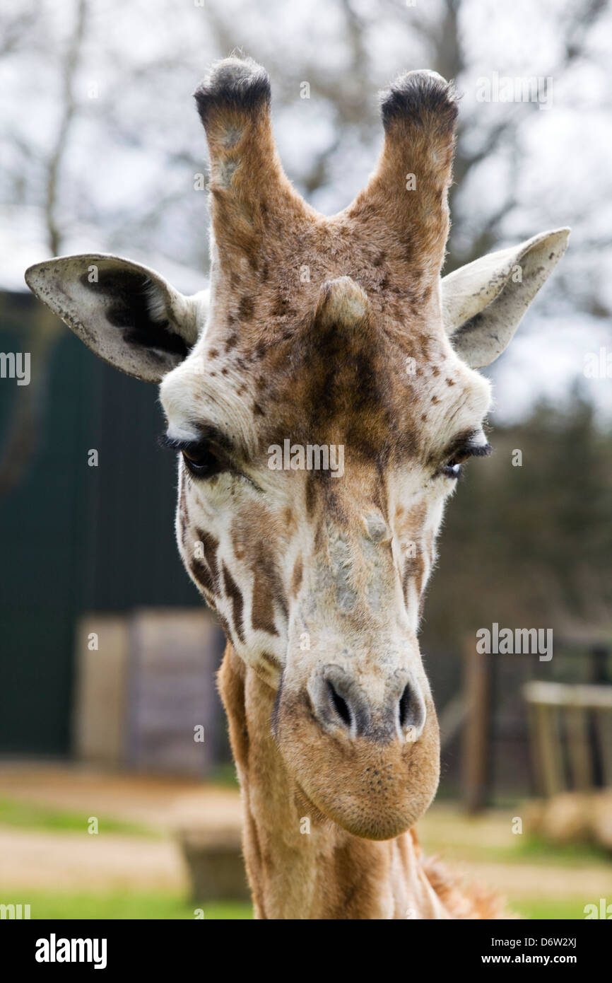 Giraffa camelopardalis In captivity - Stock Image
