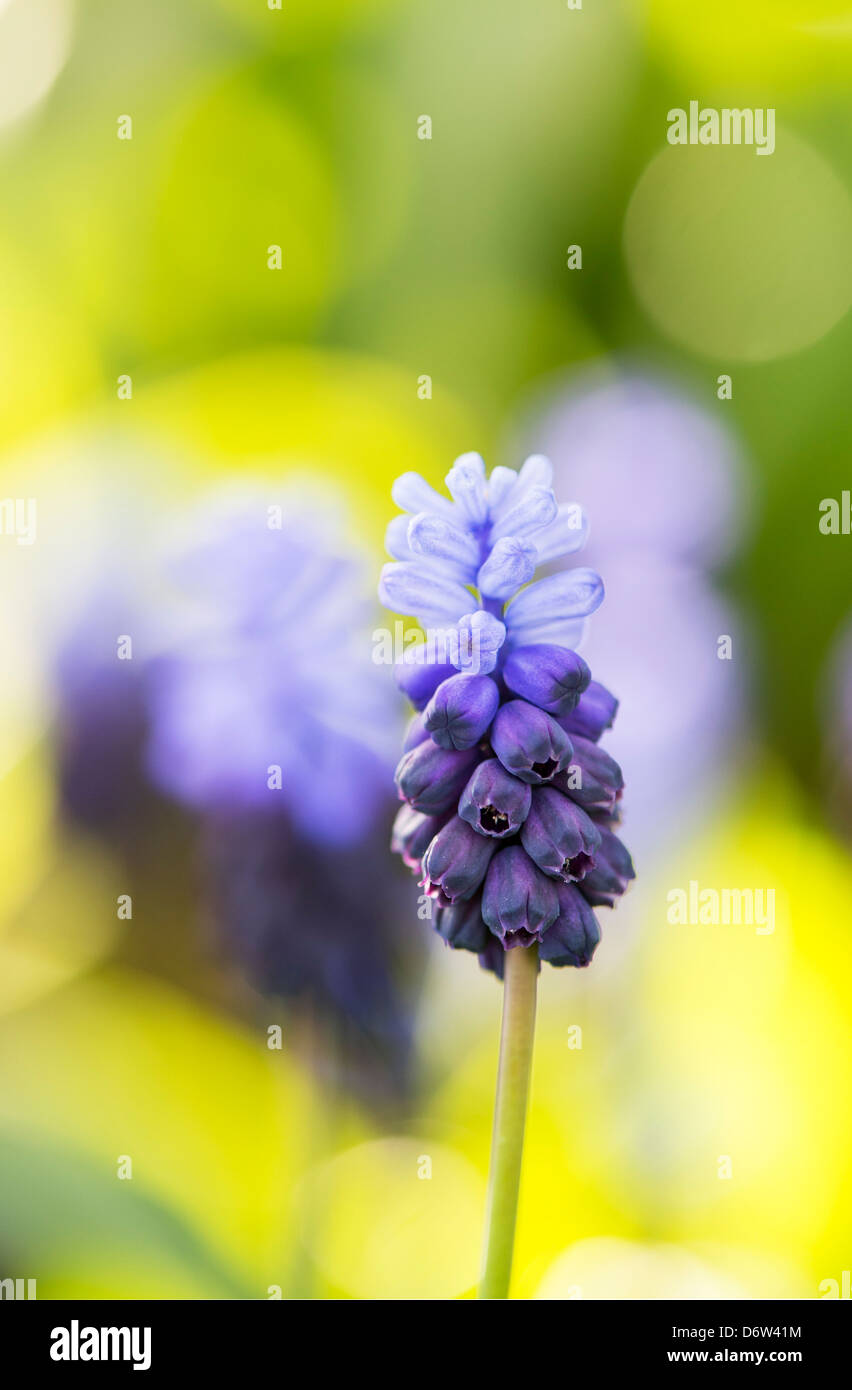 Muscari latifolium. Broad Leaved Grape Hyacinth flowers Stock Photo