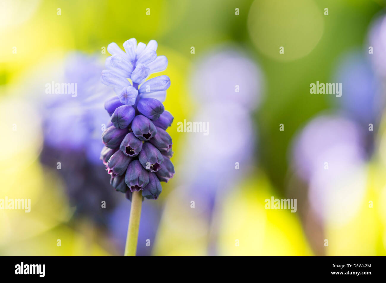 Muscari latifolium. Broad Leaved Grape Hyacinth flowers Stock Photo