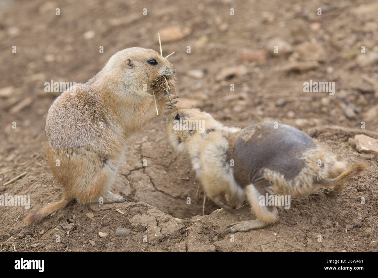 black-tailed prairie dog Cynomys ludovicianus burrowing rodents moulting - Stock Image