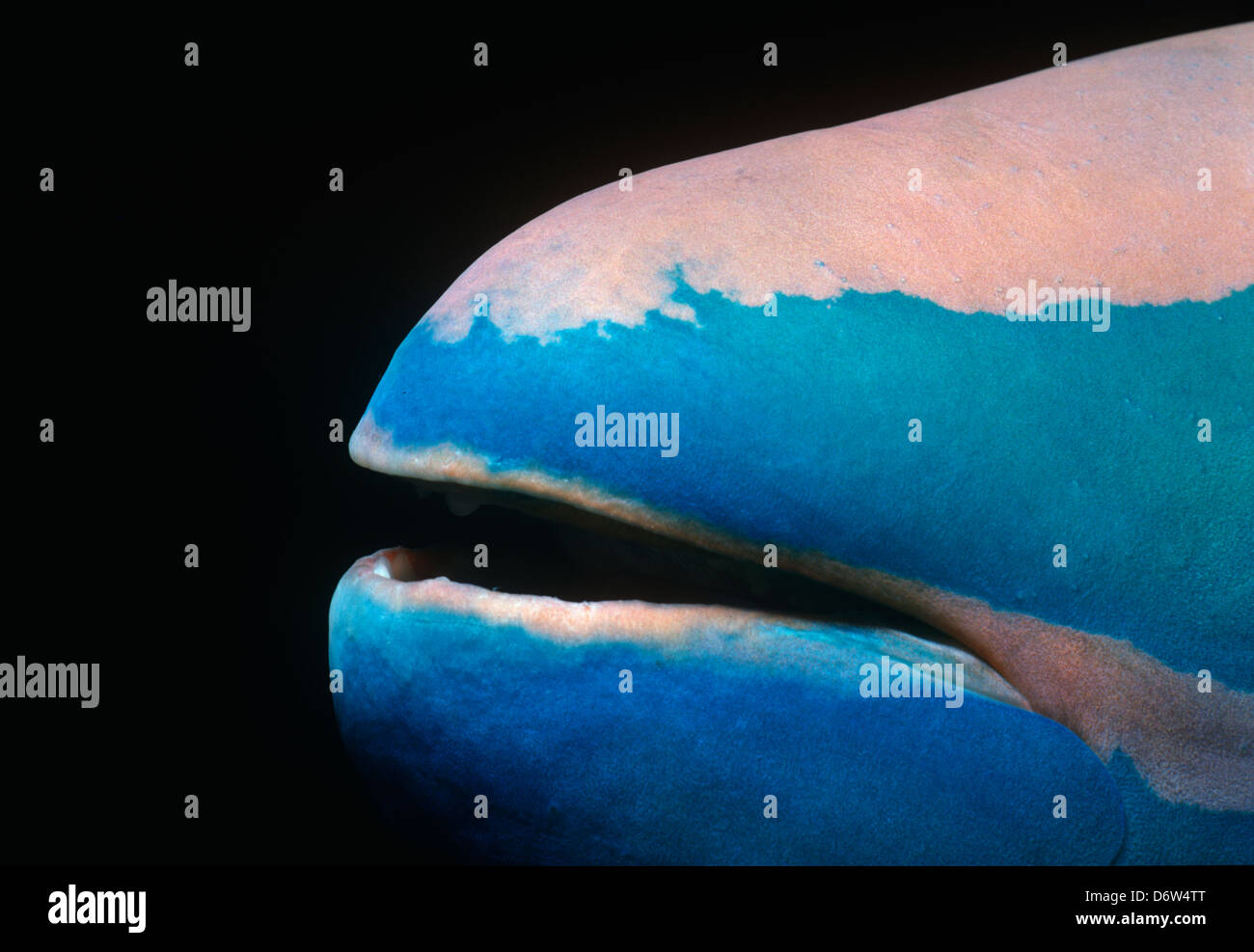 Mouth of a stoplight parrotfish (Sparisoma viride). Bahamas, Caribbean - Stock Image