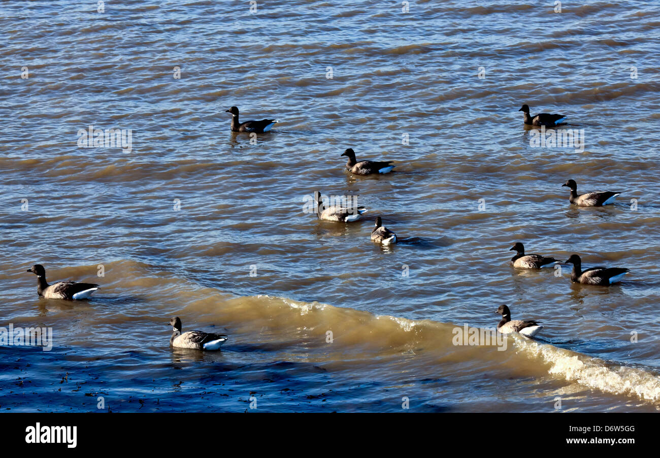 8405. Brent Geese, Westgate on Sea, Kent, England, Europe - Stock Image