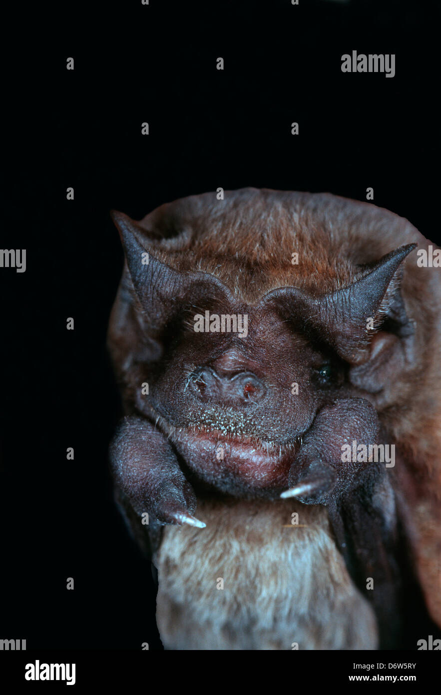 USA, Florida, Velvety Free-tailed Bat (Molossus molossus) Stock Photo