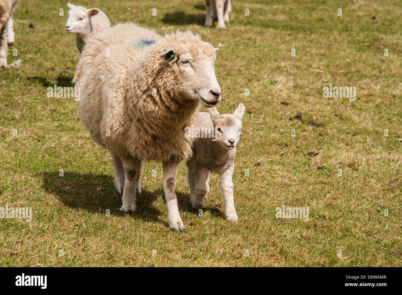 A Ewe protects its lamb in a field during spring. - Stock Image