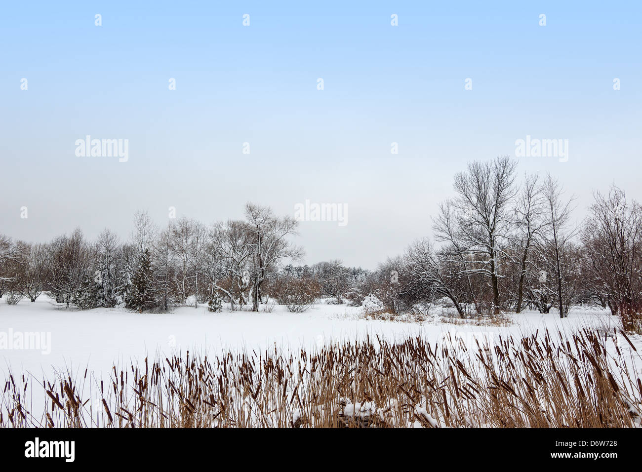 Reed growing by a lake covered by snow. Canadian winter landscape. - Stock Image