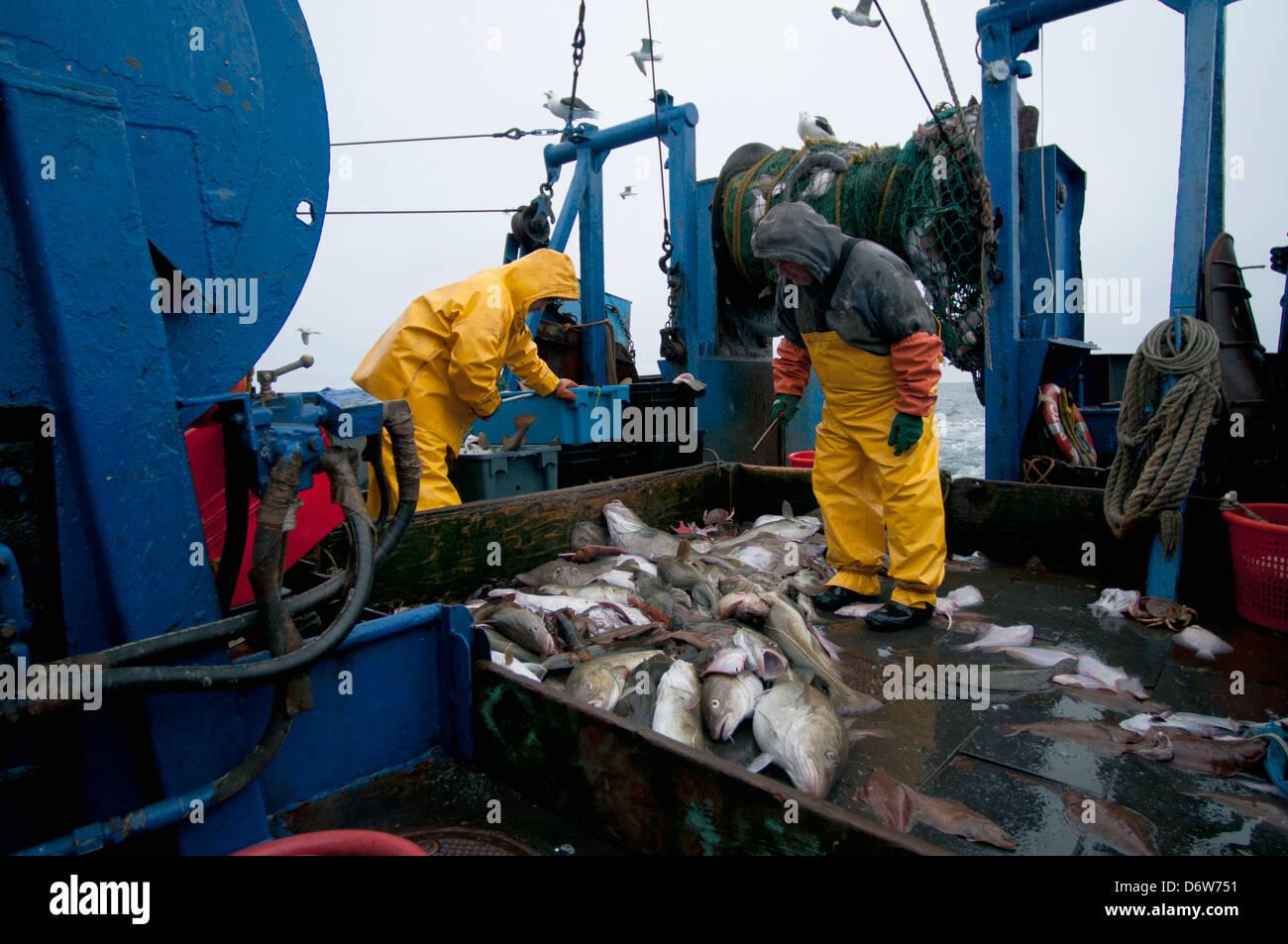Fishermen sort catch of Atlantic Cod fish (Gadus morhua) on deck of fishing dragger. Stellwagen Banks, New England - Stock Image