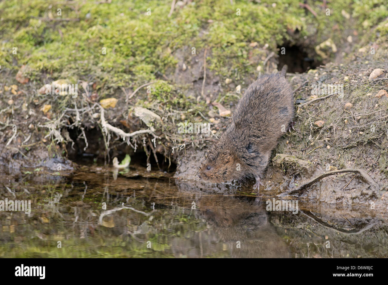 Water Vole - Arvicola terrestris, Spring. UK - Stock Image