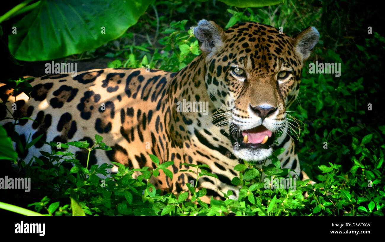 Jaguar on a riverbank in the Amazon rainforest Stock Photo