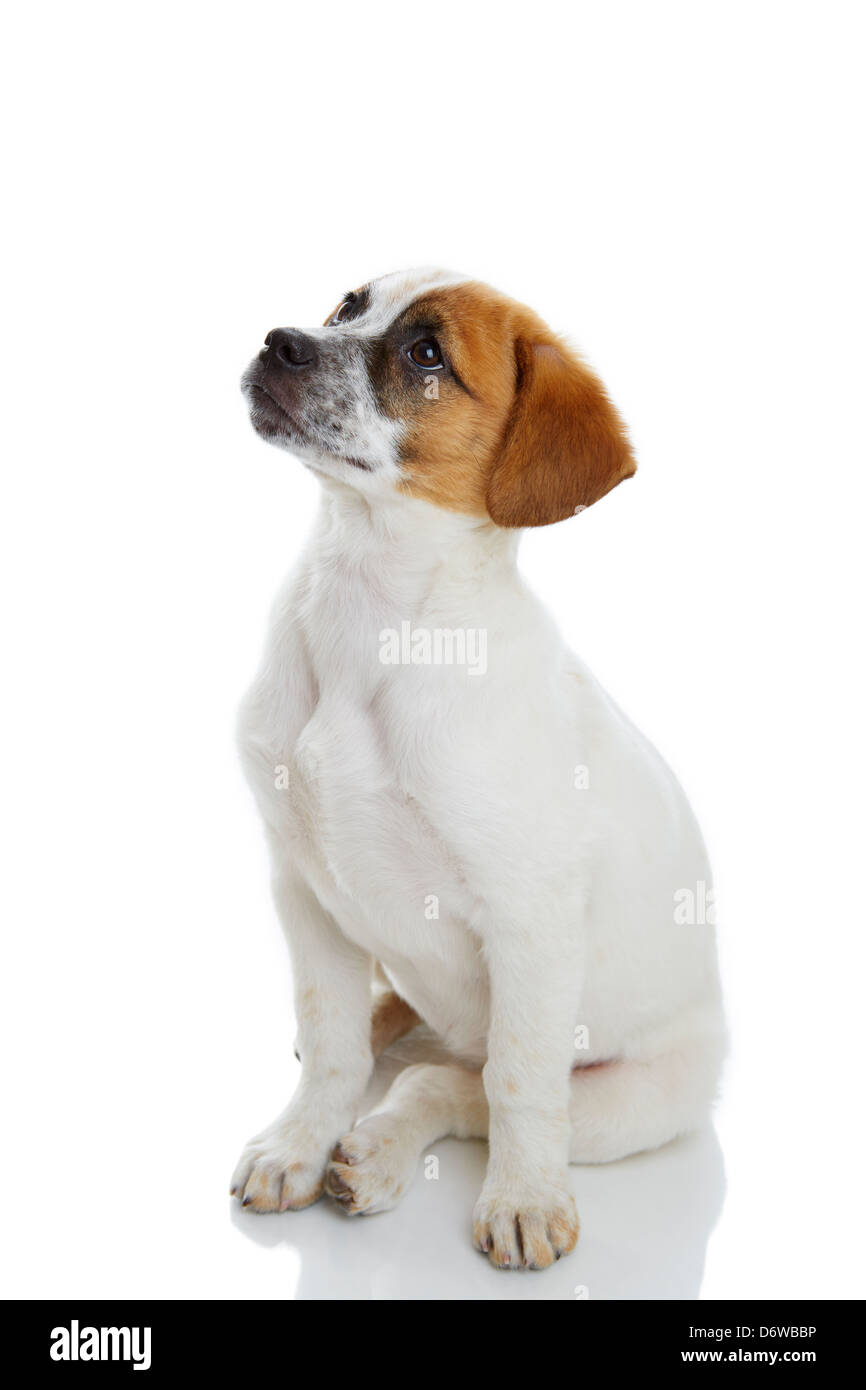 Obedient terrier dog puppy siiting and waiting in front of white background. - Stock Image