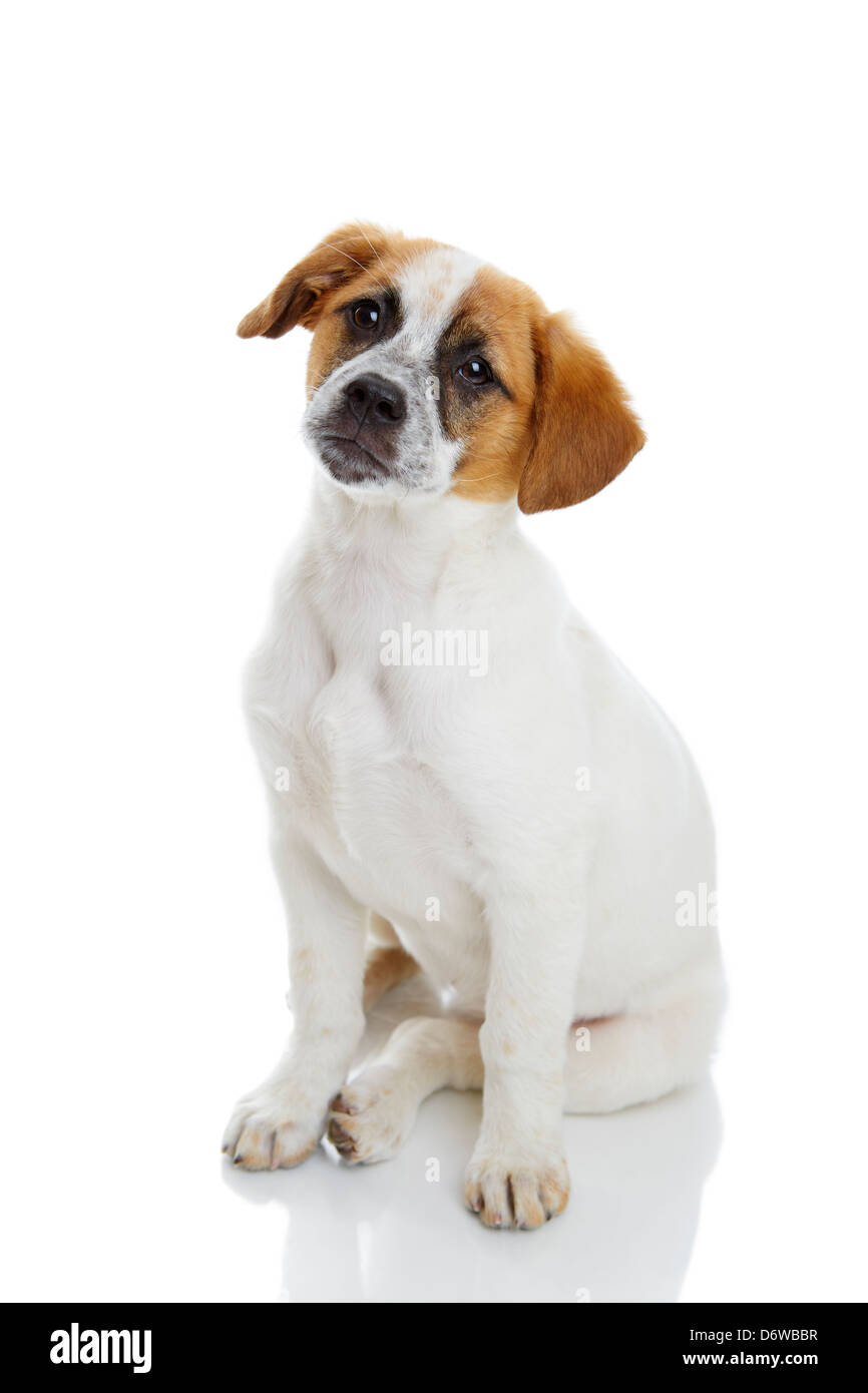 Obedient terrier dog puppy sitting and waiting in front of white background. - Stock Image