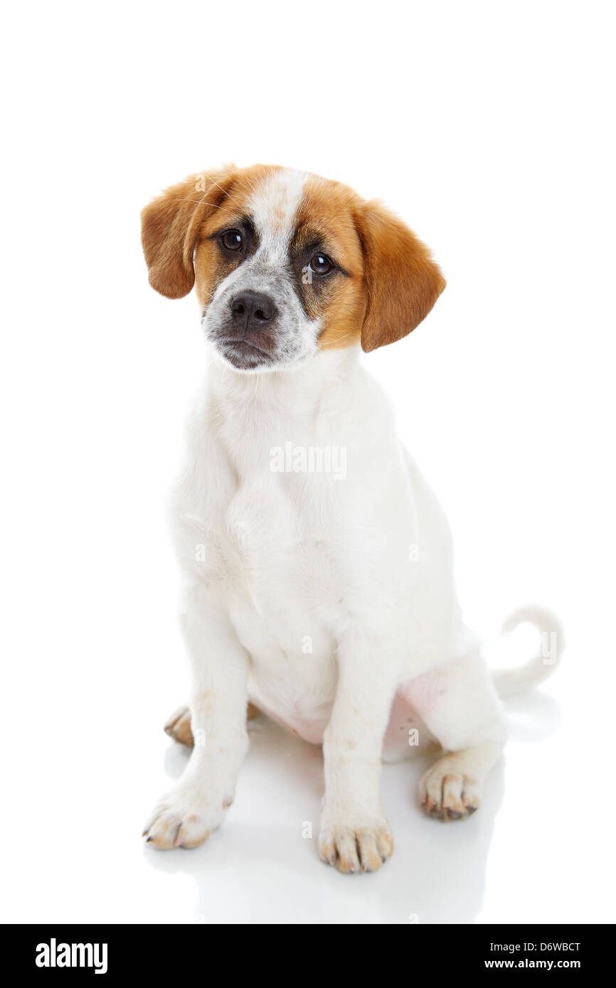 Obedient terrier dog puppy siiting and looking to the camera in front of white background. - Stock Image