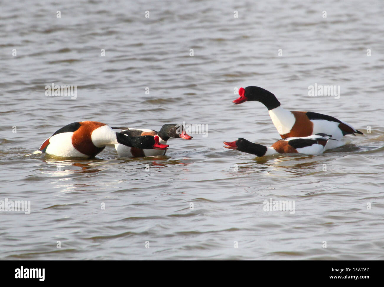Group of ferocious and bad tempered Shelducks (Tadorna Tadorna) fighting - Stock Image