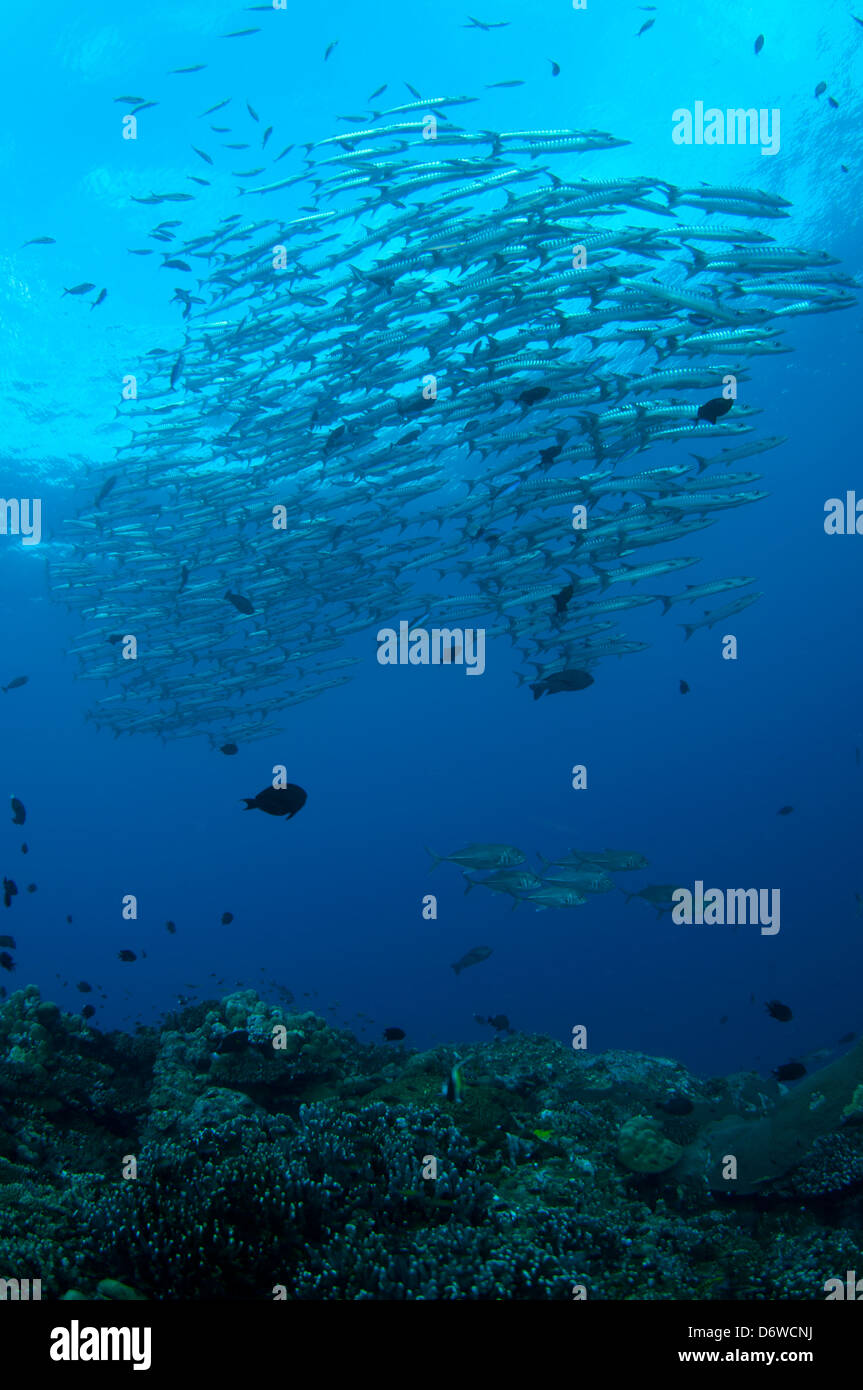 A large school of silvery barracuda swim in sync over a coral reef filled with other fish. - Stock Image