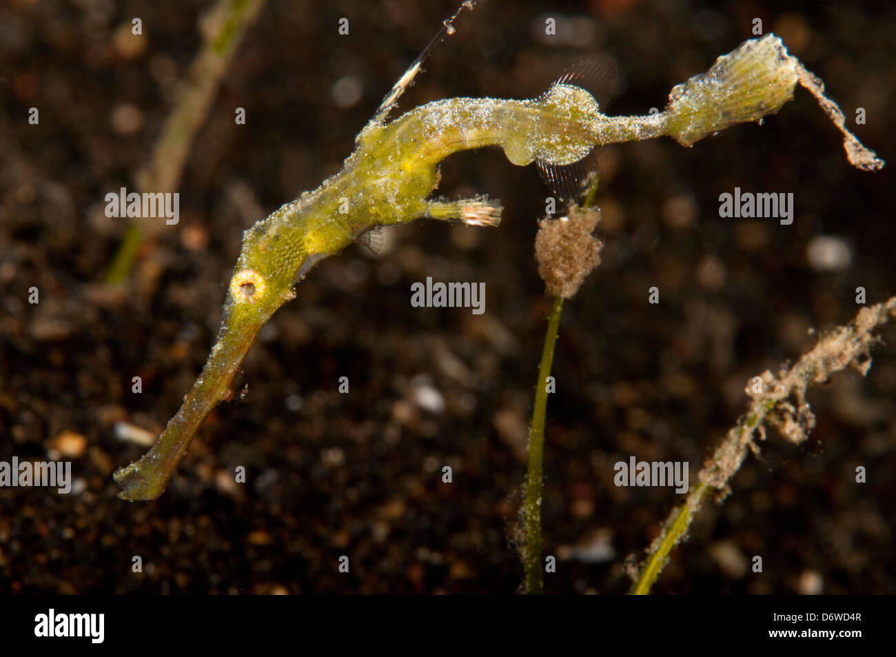 Black Ghost Fish High Resolution Stock Photography And Images Alamy