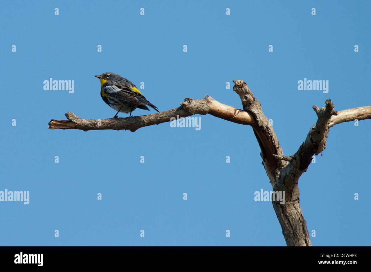 Yellow-rumped Warbler (Audubon's) Setophaga coronata Stock Photo