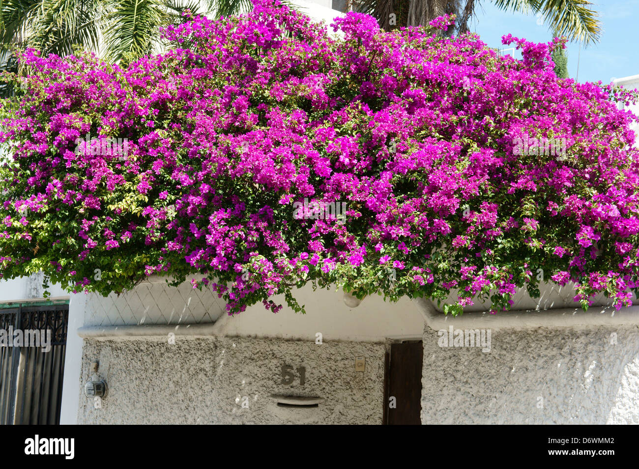 Purple bougainvillea growing on the rooftop of a house in downtown, Cancun, Quintana Roo, Mexico - Stock Image