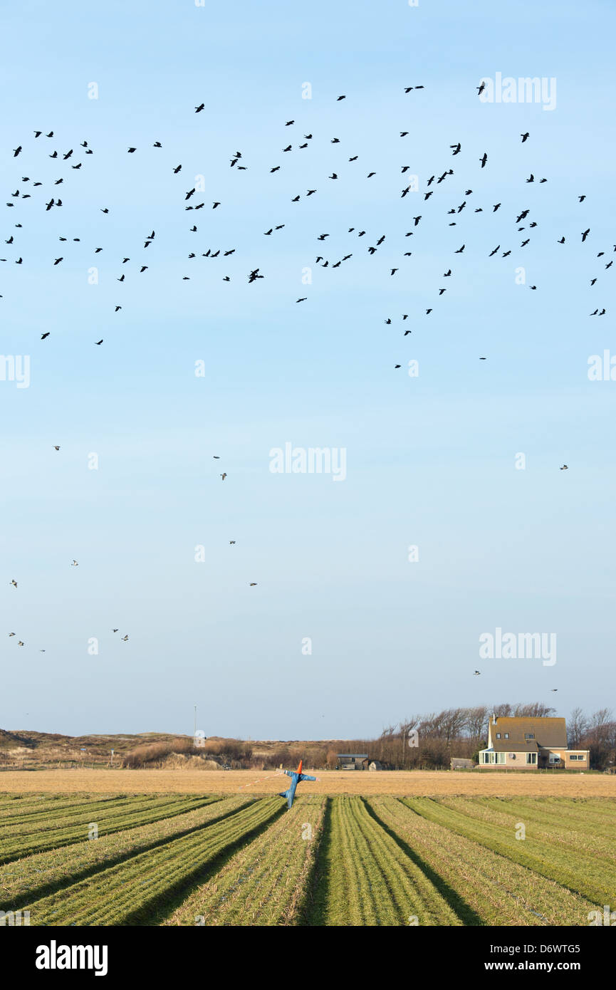 Scarecrow in agriculture field at Dutch island Texel - Stock Image