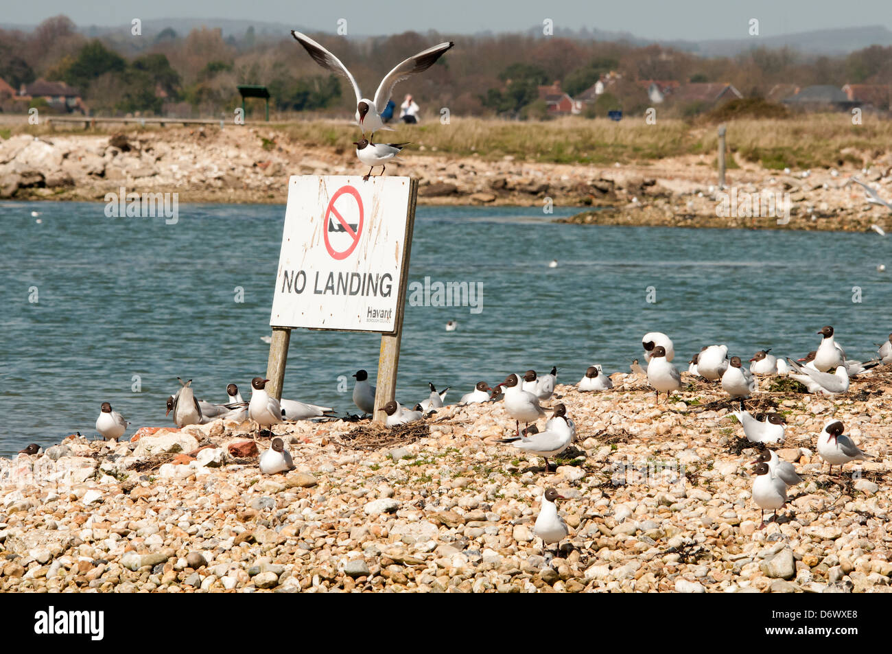 common black headed gulls nesting on protected area within Hayling Island nature reserve - Stock Image
