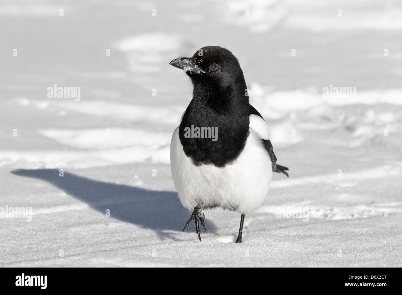 Magpie in the snow - Stock Image