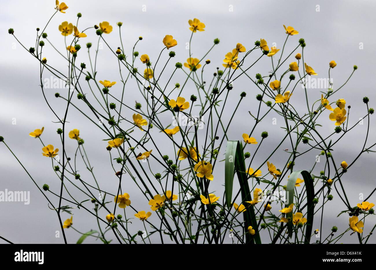 8529. Buttercups, Kent, UK - Stock Image