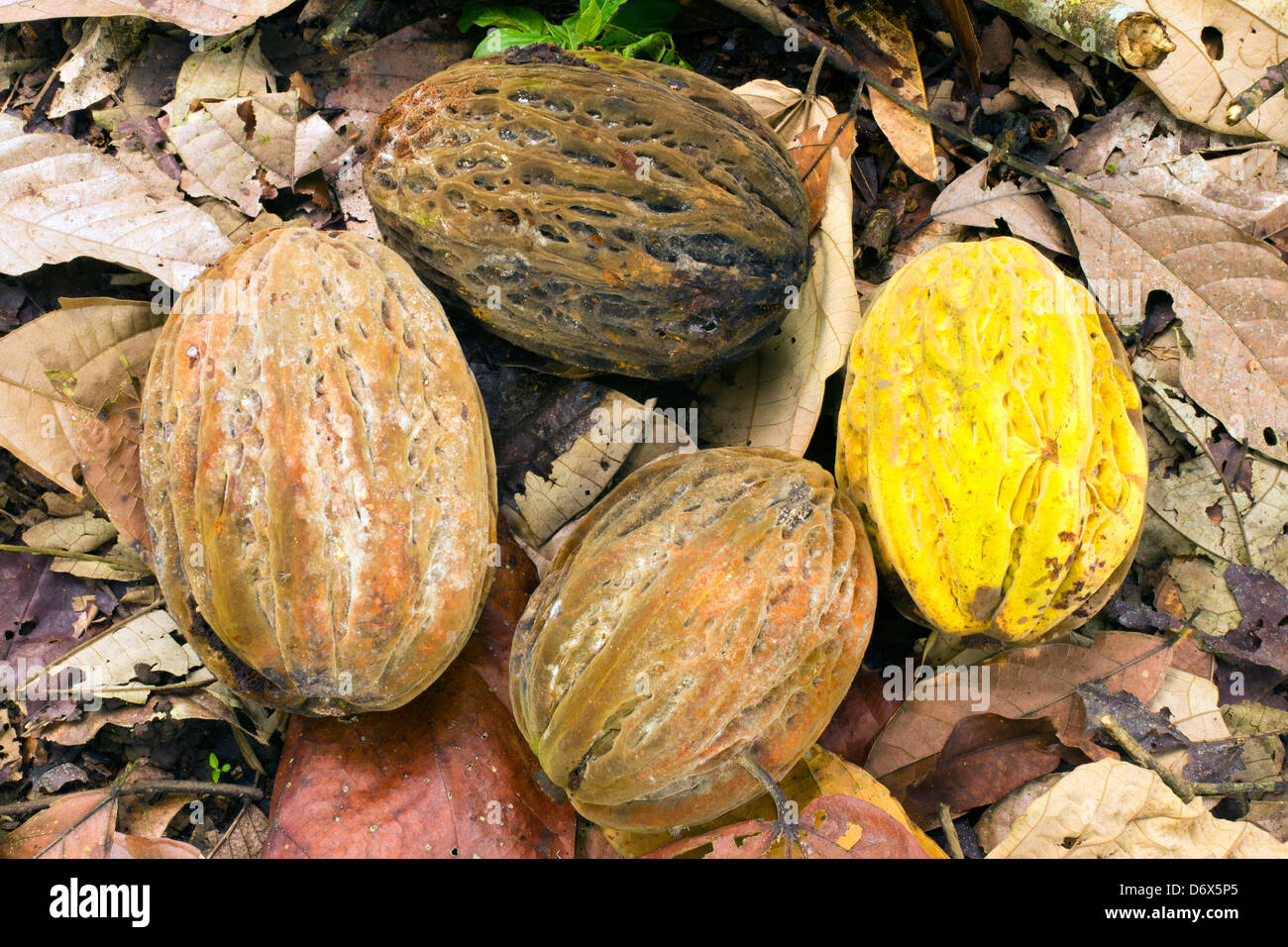 Pods of Theobroma bicolor. A wild cacao not grown commercially but used by the Aztecs to make chocolate Stock Photo