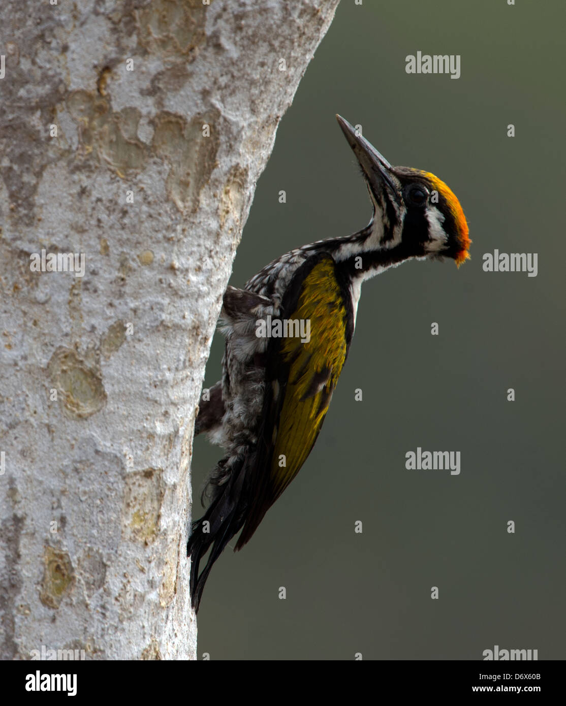 White-naped Woodpecker  climbing up a tree trunk - Stock Image