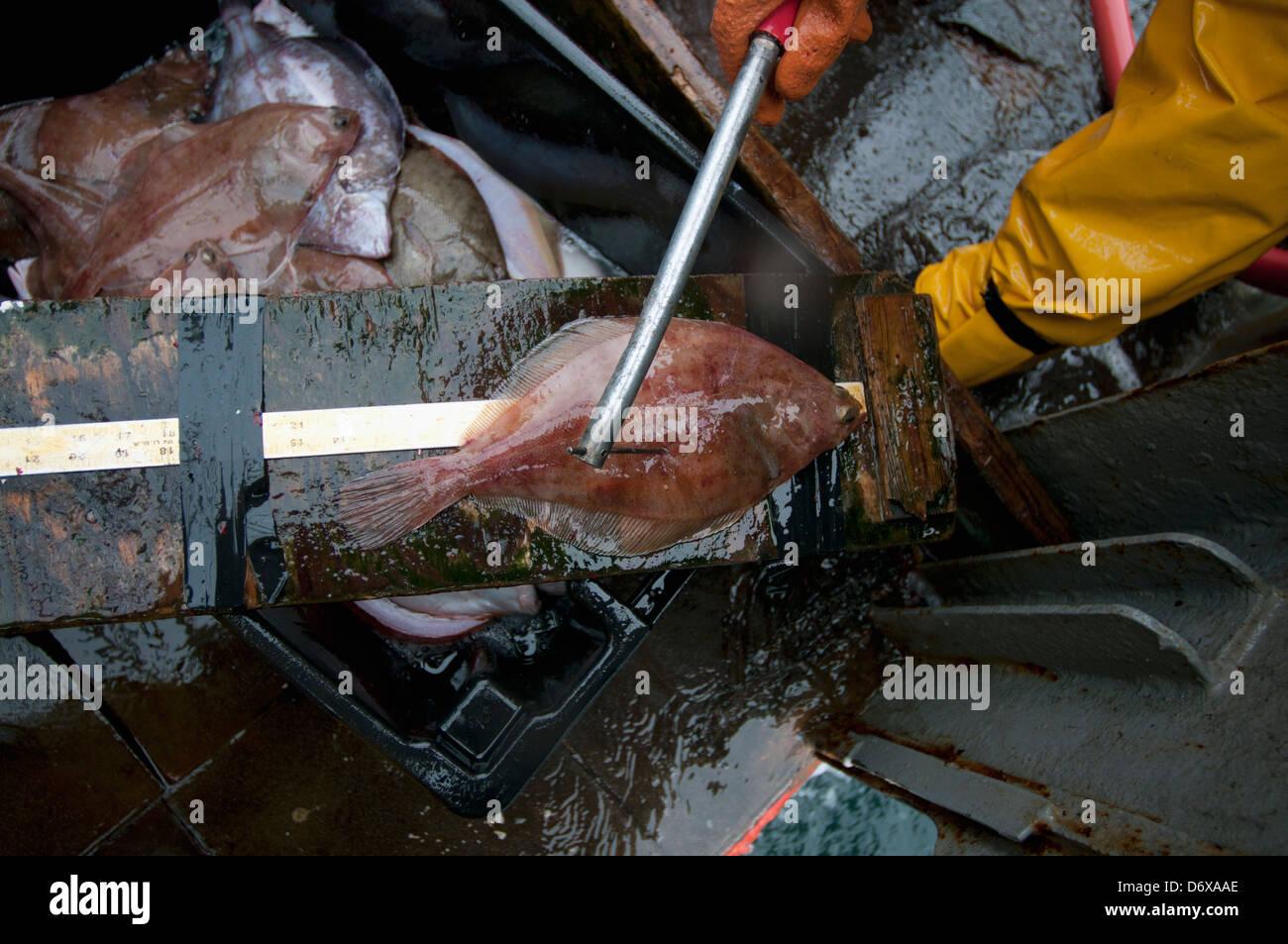 Fisherman measures undersized Yellowtail Flounder (Limanda ferruginea) on deck of fishing dragger. Stellwagen Banks, - Stock Image
