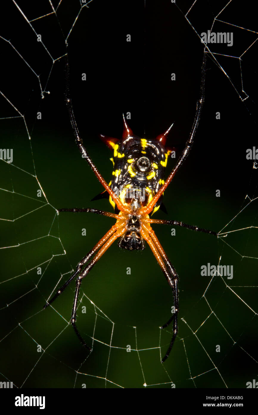 Spiny orb weaver spider (Gasteracantha sp.) - Stock Image